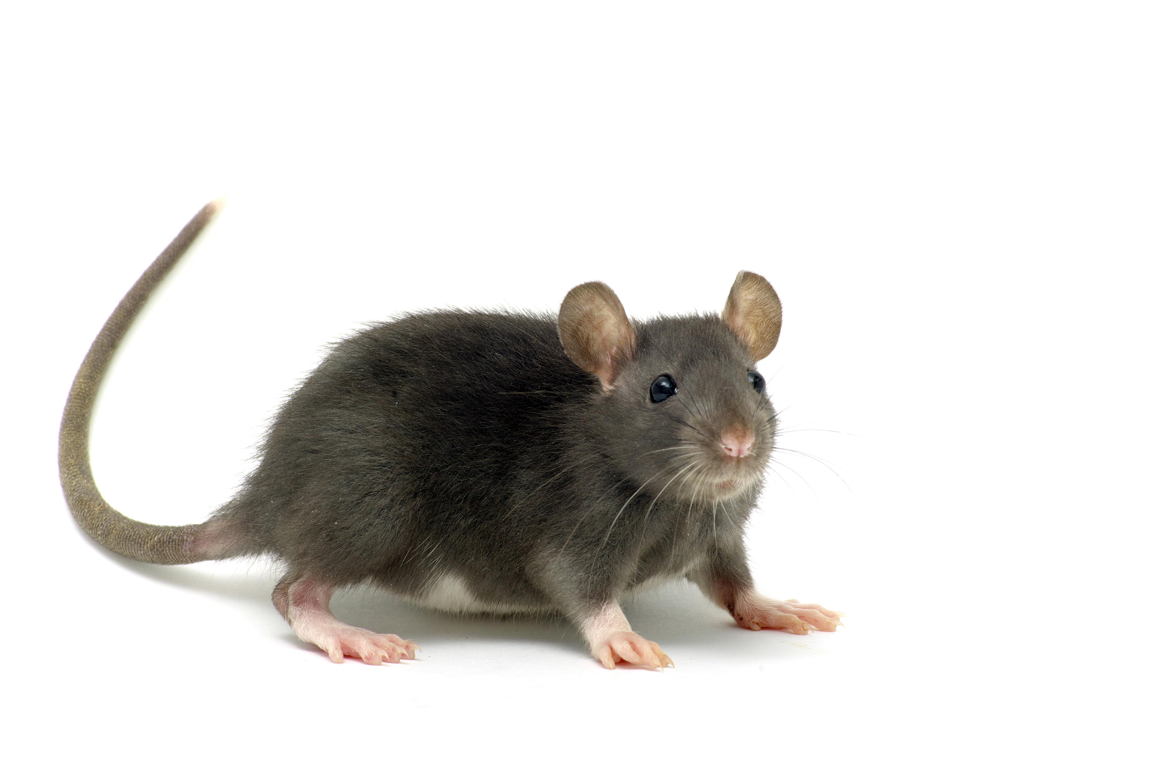 Billede af rotte